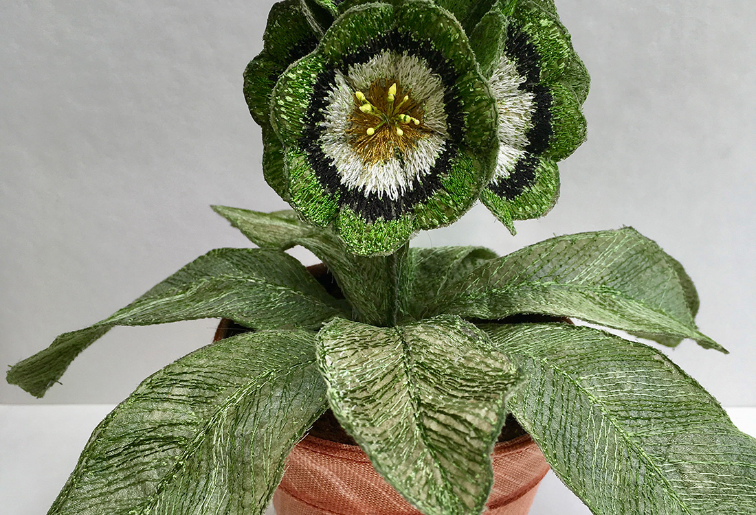 Auricula 'Oban' Pot Plant by Corinne Young