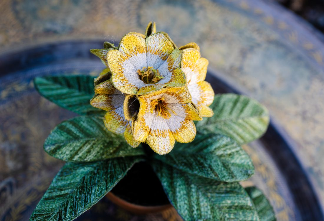Auricula 'Pot of Gold' Pot Plant (Spring 2021) by Corinne Young. Photography by the Happy Brand Photographer.