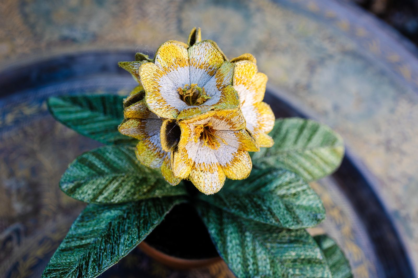 Auricula Pot Plants